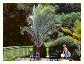 Palm Trees by pool from palmtreedirect.com